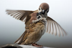 Mating sparrows Stock Photo