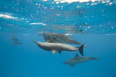 Mating Spinner dolphins in the wild. Mating Spinner dolphins (Stenella longirostris) in the wild. Sataya, Southern Red Sea, Egypt Royalty Free Stock Images