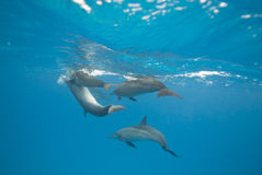 Mating Spinner dolphins in the wild. Mating Spinner dolphins (Stenella longirostris) in the wild. Sataya, Southern Red Sea, Egypt Royalty Free Stock Photos