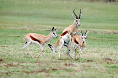 Mating Springboks stock photography