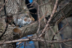 Mating Squirrels in Spring Stock Photo