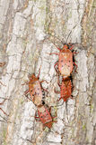 Mating stink bug. Two pair of stink bug are mating on tree trunk. Scientific name: Urochela quadrinotata stock images