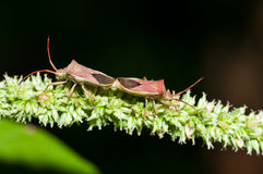 Mating Stink Bugs Stock Photo