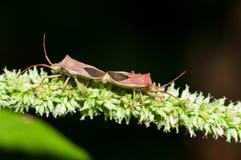 Mating Stink Bugs Stock Photo