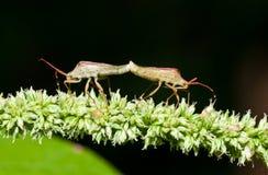 Mating Stink Bugs Stock Photos