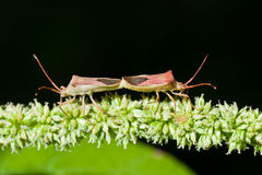 Mating Stink Bugs Royalty Free Stock Photos