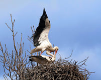 Mating Stork Couple Stock Image