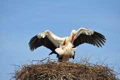 Mating storks. In their nest Stock Image