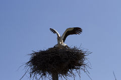 Mating of storks. Storks in the nest against the sky Royalty Free Stock Photos