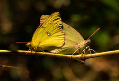 Mating Sulphur butterflies Royalty Free Stock Photo