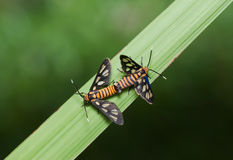Mating Tiger Moth  macro Stock Photography