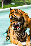 Mating tigers Stock Photography
