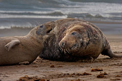 Mating time for Seals Royalty Free Stock Photo