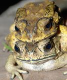 Mating toad Stock Images