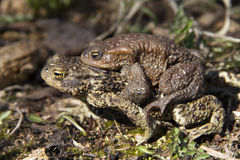 Mating toad Royalty Free Stock Photo
