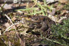 Mating toad Royalty Free Stock Images