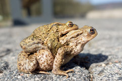 Mating toads Stock Photo