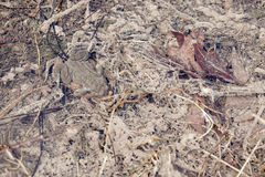 Mating toads camouflage Stock Photography