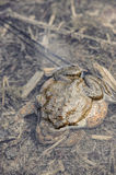Mating toads camouflage. Mating toads, Bufo bufo, camouflaged in their environment Stock Photography