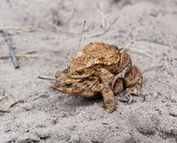 Mating toads royalty free stock photos