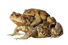 Mating toads over white. Mating common toads isolated over white background  Bufo Stock Image