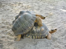 Mating tortoise sex in nature Stock Image