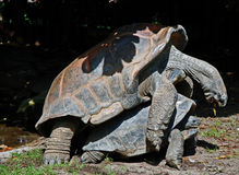 Mating tortoises Royalty Free Stock Image
