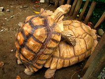 Mating Tortoises Stock Images