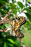 Mating tropical butterfly Stock Image