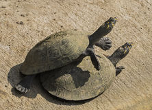 Mating Turtles Royalty Free Stock Photography