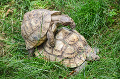 Mating turtles Stock Photo