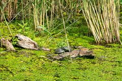 Mating the turtles. Typical landscape at swamp area of Imperial Pond Carska bara, large natural habitat for birds and other animals from Serbia. Mating the royalty free stock photos