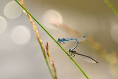Mating of two dragonflies. Sitting insects on a blade of grass at sunset. Concept - animals - nature royalty free stock photos