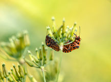 Mating two shield bugs on blurry background Royalty Free Stock Image