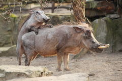 Mating warthogs Royalty Free Stock Photography