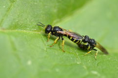 Mating wasps Stock Photo