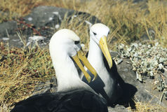 Mating Waved Albatross, Galapagos Islands Royalty Free Stock Photography