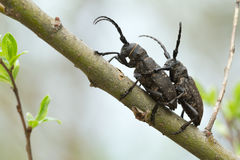 Mating weaver beetles, Lamia textor on willow twig Royalty Free Stock Image