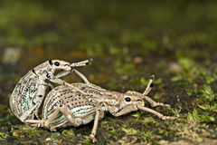Mating Weevil. A pair of weevil is mating on the ground of Malaysia forest Royalty Free Stock Images