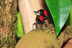 Mating weevils Madagascar Stock Images