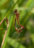 Mating White-faced Meadowhawks Stock Image