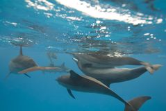 Mating wild Spinner dolphins. Stock Photo