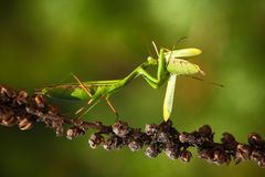 Matins eating mantis, two green insect praying mantis on flower, Mantis religiosa, action scene, Czech republic Royalty Free Stock Photography