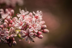 Matiz cor-de-rosa do Wildflower de Califórnia fotografia de stock