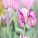 Matka dnia tulipanu karta - natur Akcyjne fotografie Obraz Stock