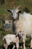 matka dziecka kozę Zdjęcia Royalty Free