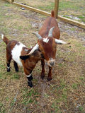 matka dziecka kozę Obraz Royalty Free