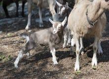 matka dziecka kozę Obraz Stock