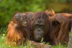 matka dziecka orangutana obraz royalty free