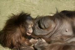matka dziecka orangutana Zdjęcia Stock
